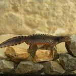 Alpenwatersalamander (Ichthyosaura alpestris cyreni) mannetje