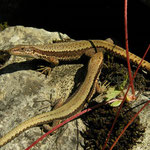 Horvath's Rock Lizards (Iberolacerta horvathi)
