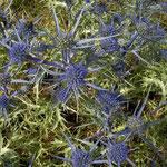 Blauwe distels (Eryngium spec.)