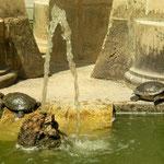 Roodwangschildpadden (Trachemys scripta elegans)