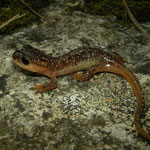 Irfan's Salamander (Lyciasalamandra irfani) juvenile