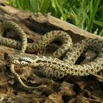 Blotched Snake (Elaphe sauromates)