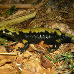 Alpine Salamander (Salamandra atra aurorae), Asiago, Italy, August 2014