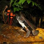 eyelashed forest frog (Edalorhina perezi)
