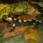 Fire Salamander (Salamandra salamandra gigliolii), Liguria, Italy, October 2013