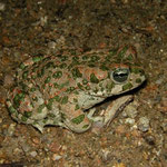 Green Toad (Bufotes viridis), Sardinia, Italy, May 2011