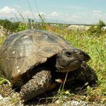 Breedrandschildpad (Testudo marginata)