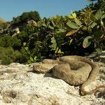Blunt-nosed Viper (Macrovipera lebetina schweizeri)