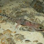 Europese tjitjak (Hemidactylus turcicus)