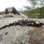 Vuursalamander fotografie (c) Sander