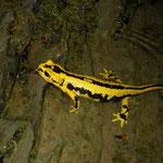 Vuursalamander (Salamandra salamandra fastuosa) vrouwtje larven aan het afzetten.