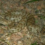 Our first Blunt-nosed Viper (Macrovipera lebetina schweizeri)