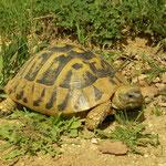 Eating Hermann's Tortoise (Testudo hermanni)