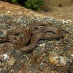 Girondische gladde slang (Coronella girondica)