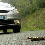 Corsicaanse vuursalamander (Salamandra corsica) op de weg