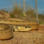 Algerijnse valse gladde slang (Macroprotodon cucullatus)