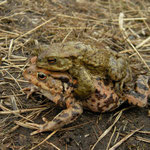 Common Toads (Bufo bufo) in amplexus
