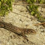 Sand Lizard (Lacerta agilis chersonensis) juvenile