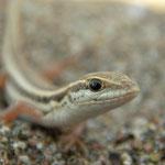 Slangenooghagedis (Ophisops elegans) juveniel