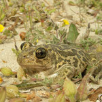 Eastern Spadefoot Toad (Pelobates syriacus), Limnos, Greece, May 2010