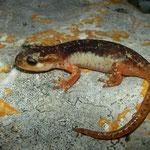 Luschan's Salamander (Lyciasalamandra luschani basoglui)