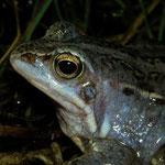 Moor Frog (Rana arvalis) male