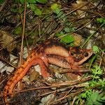 Fazilae's Salamanders (Lyciasalamandra fazilae) in amplexus