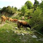 Koeien in Bombina habitat.
