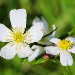 Large White Buttercup (Ranunculus platanifolius)