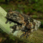 Neotropical marbled treefrog (Dendropsophus marmoratus)