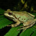Northern Pacific Treefrogs (Pseudacris regilla)