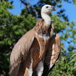 Griffon Vulture (Gyps fulvus) © Laura Tiemann