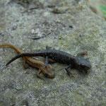 Kleine watersalamander (Lissotriton vulgaris) en alpenwatersalamander (Ichthyosaura alpestris) juvenieltjes