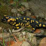 Fire Salamander (Salamandra salamandra crespoi x gallaica), Grandola, Portugal, February 2016