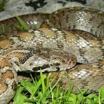 Transcaucasian Ratsnake (Zamenis hohenackeri)