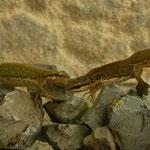 Vinpootsalamanders (Lissotriton helveticus)