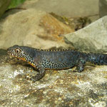 Alpenwatersalamander (Mesotriton alpestris)
