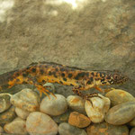 Balkan Crested newt (Triturus ivanbureschi) less typical male