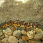 Balkan Crested newt (Triturus ivanbureschi) less typical male