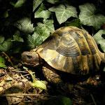 Griekse landschildpadden (Testudo hermanni)