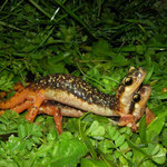 Luschan's Salamander (Lyciasalamandra luschani luschani) in amplexus.
