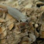 Desert Night Lizard (Xantusia vigilis) juvenile
