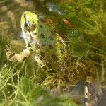 Griekse meerkikker (Pelophylax kurtmuelleri)