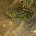 Pool Frog (Pelophylax lessonae bergeri)