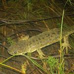 Ribbensalamander (Pleurodeles waltl)