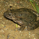 Painted Frog (Discoglossus pictus)