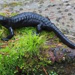 Alpine Salamander (Salamandra atra) © Laura Tiemann