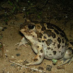 Eastern Spadefoot Toad (Pelobates syriacus), Peloponnese, Greece, October 2012