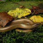 Italian Slow Worm (Anguis veronensis)