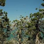 Aalscholver nesten in de Juniperus excelsa bomen.